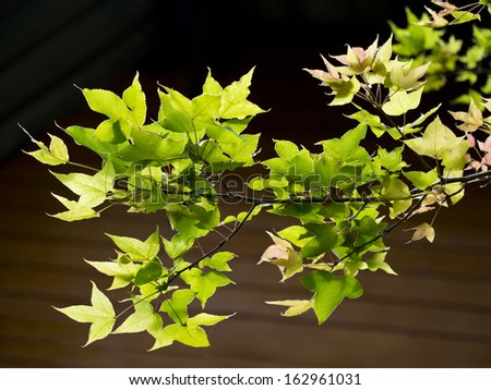 maple green leaves in nature