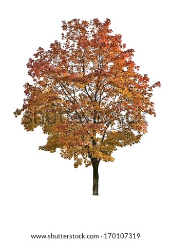 Maple in autumn isolated on white. - stock photo
