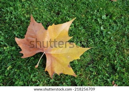 Maple leaf - stock photo