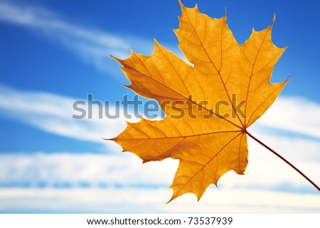 Maple leaf against the blue sky - stock photo