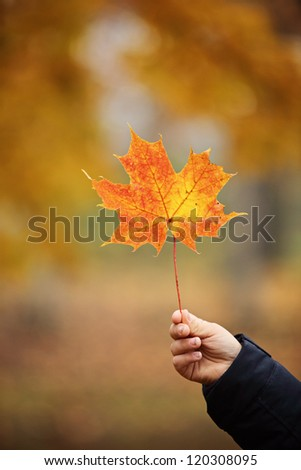 Maple leaf in a hand - stock photo