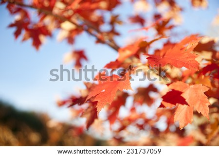 Maple leaf in differential focus, fall leaves - stock photo