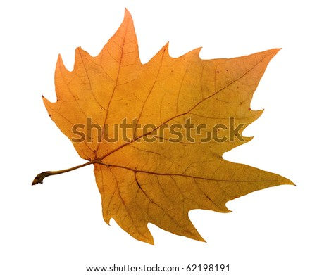 Maple leaf include hand made clipping path - stock photo