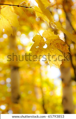 Maple leaf isolated in autumn forest, limited depth of field - stock photo
