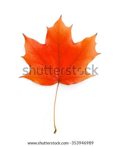 Maple leaf isolated on white - stock photo