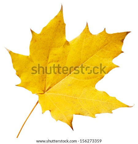 maple leaf isolated on white background - stock photo