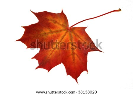 maple leaf of red and yellow colors isolated