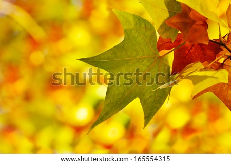 maple leaf on blurred background - stock photo
