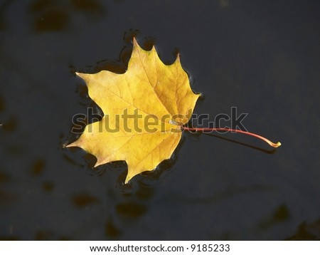 Maple leaf on the water - stock photo