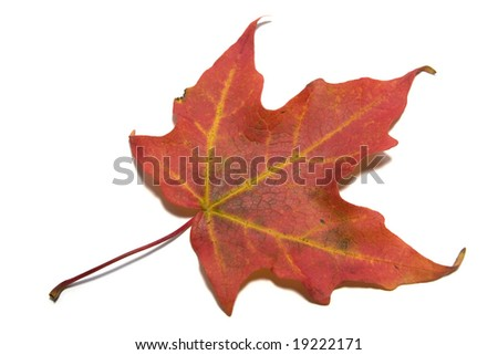 Maple leaf on white background - stock photo