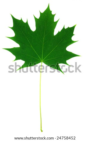 Maple leaf over white background.