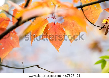 maple leaf red autumn sunset