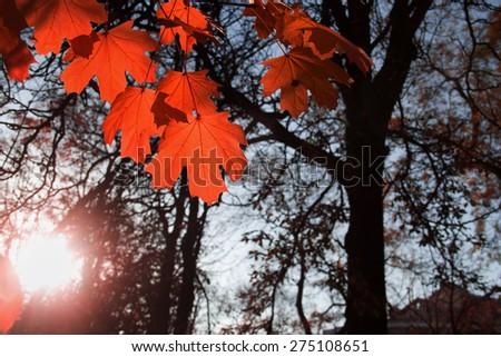 maple leaf red autumn sunset tree  background - stock photo