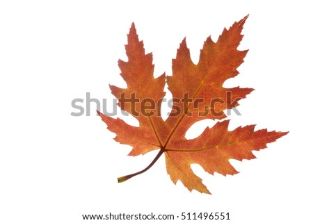 Maple leaf with autumn colors, isolated on white