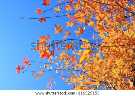 maple leaf with blue sky in the background