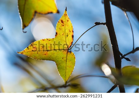 Maple Leaf with the light penetrates. - stock photo