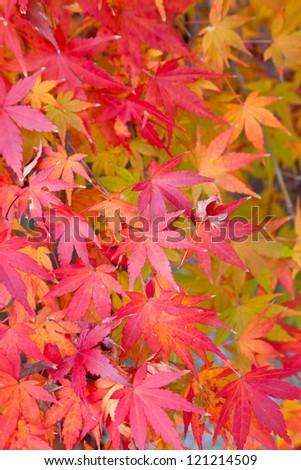 maple leaves - stock photo