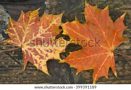 Maple leaves (Acer) landscape format, Autumnal maple leaves set against the grain of an old wooden plank