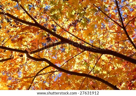 maple leaves,autumn leaves