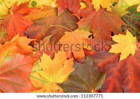 stock-photo-maple-leaves-background-1123