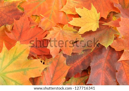 Maple leaves background - stock photo