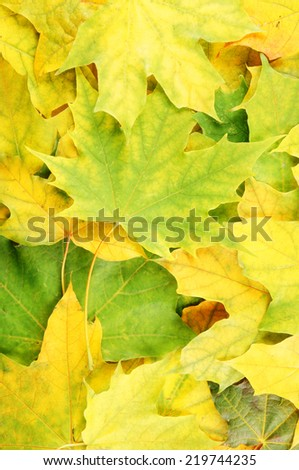 Maple leaves background  - stock photo