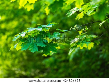 Maple leaves background. Natural green leaves of maple tree at spring.