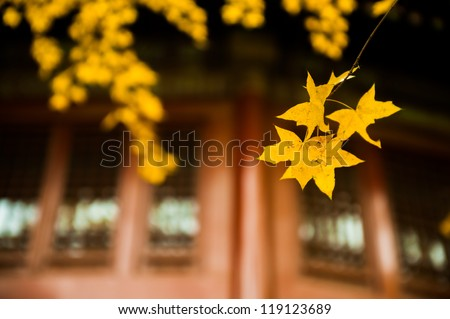 maple leaves before the windows - stock photo