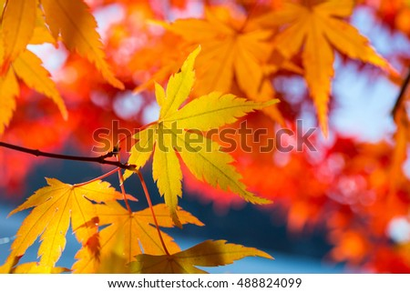 Maple leaves change color in autumn