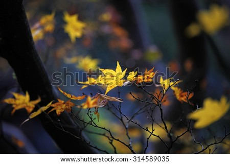Maple leaves changing color  - stock photo