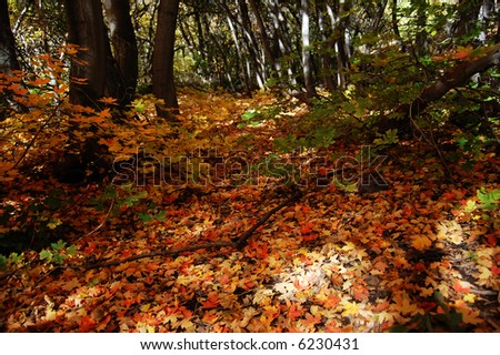 Maple leaves covering the ground.