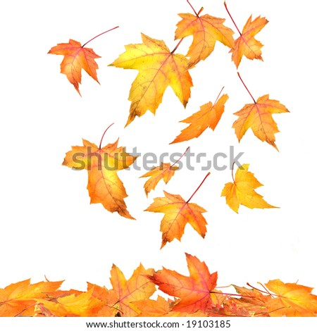 Maple leaves falling  on white background - stock photo