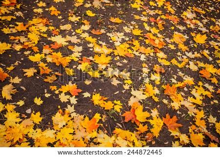 Maple Leaves Forever - stock photo