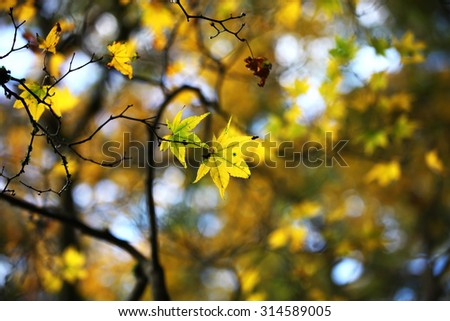 Maple leaves in autumn - stock photo