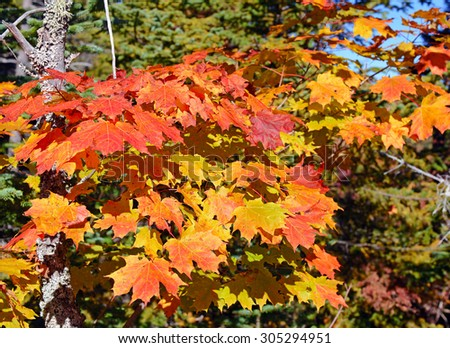 Maple leaves in autumn colors, Adirondacks, New York
