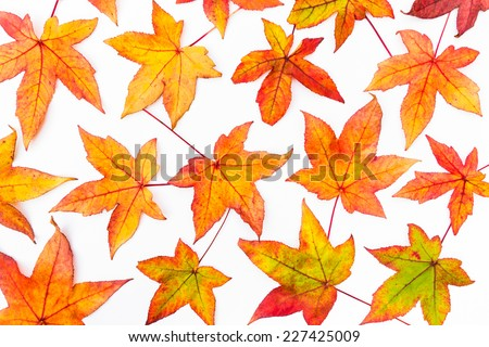 Maple leaves in autumn colors isolated on white background - stock photo