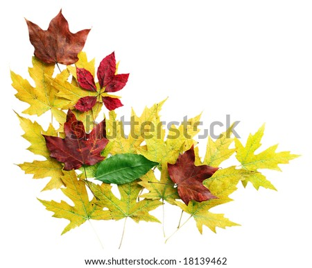 Maple leaves in red, yellow isolated on white - stock photo