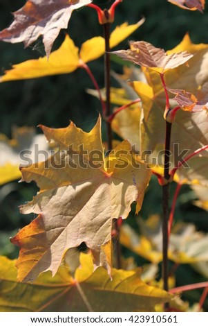 maple leaves in the park