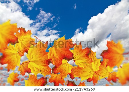 Maple leaves in the sky - stock photo