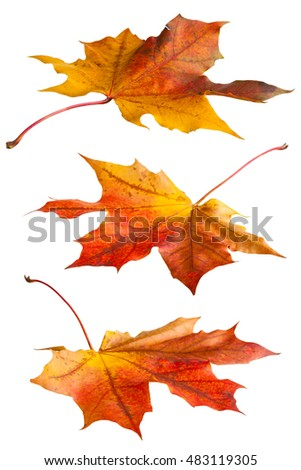 Maple leaves isolated on white background, fall