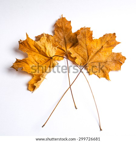 maple leaves on a white background - stock photo