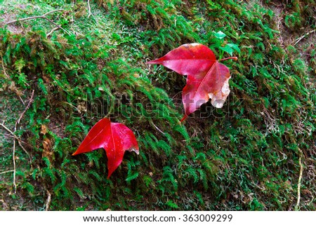 Maple leaves on Phu Kradueng National Park,Loie province,Thailand.