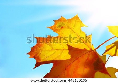 Maple leaves over bright fall background in sunlight - stock photo