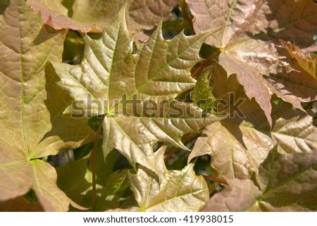 maple leaves shine in a sunny weather - stock photo