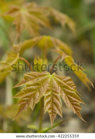 maple leaves shine in a sunny weather,  a close up - stock photo