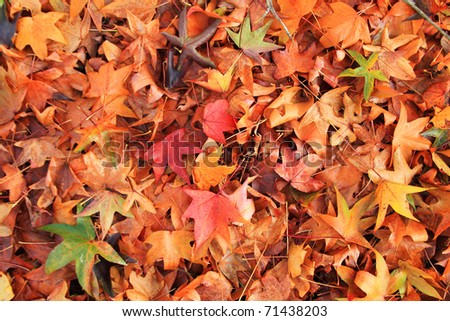 Maple leaves texture and background in fall season