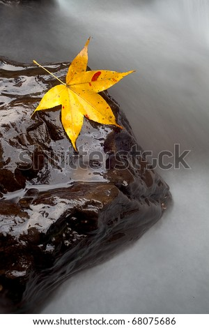 Maple on the stone with river trace color - stock photo
