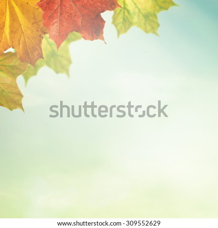 Maple red and yellow leaves in sunlight as autumn nature background  - stock photo
