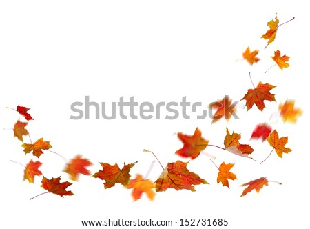 Maple red autumn falling leaves, isolated on white background. - stock photo