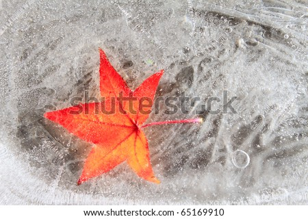 Maple red leaf frozen into ice cold season winter